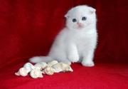Шикарненькие Беленькие и Кремовые котятки-Скоттиш фолд.
