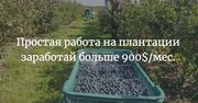 Работник на плантации малины,  ежевики,  борувки (черники)
