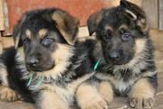 Продаются чистокровные полтора месячные щенки немецкой овчарки!