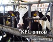 Торговый Дом «КамАгро» продает молочных товарных нетелей Черно-пестрой