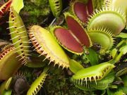 Растение хищник венерина мухоловка