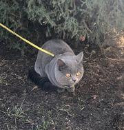 СРОЧНАЯ ВЯЗКА шотландского кота